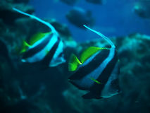 Una coppia di heniochus acuminatus del pesce allo swi blu profondo dell'oceano Immagini Stock Libere da Diritti
