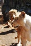Una coppia di leoni Fotografia Stock