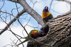 Una coppia di pappagallo curioso Immagine Stock Libera da Diritti