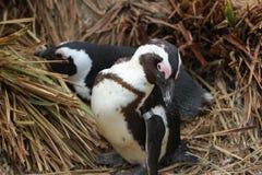 Una coppia di pinguini pagati il nero Immagini Stock Libere da Diritti