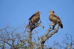 Una coppia Eagles Fotografia Stock