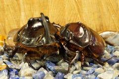 Una coppia gli scarabei rinoceronti immagine stock