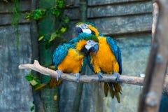 Una coppia i bei pappagalli gialli dell'ara Fotografia Stock