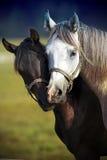 Una coppia i cavalli Immagine Stock Libera da Diritti