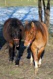 Una coppia i cavalli sul recinto chiuso fotografia stock libera da diritti