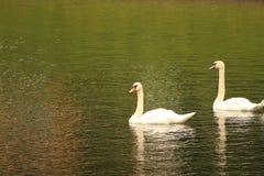 Una coppia i cigni bianchi su uno stagno Fotografie Stock
