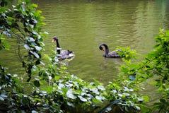 Una coppia i cigni neri in parco Sofiyivka fotografia stock