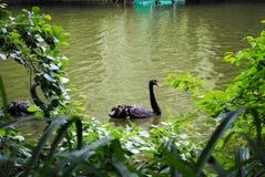 Una coppia i cigni neri in parco Sofiyivka fotografie stock libere da diritti