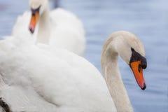 Una coppia i cigni su un lago Immagini Stock