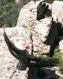 Una coppia i Condors Immagine Stock Libera da Diritti
