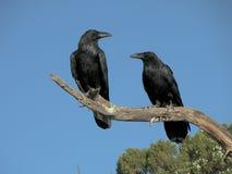 Una coppia i corvi Fotografia Stock