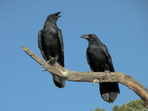 Una coppia i corvi Immagini Stock Libere da Diritti
