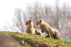 Una coppia i cuccioli del ghepardo Immagini Stock