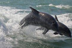 Una coppia i delfini Fotografie Stock