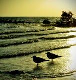 Coppie i gabbiani nel tramonto Fotografia Stock