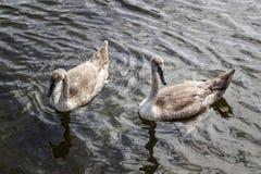Una coppia i giovani cigni che nuotano Fotografia Stock