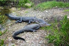 Una coppia i grandi alligatori americani (alligator mississippiensis) Immagini Stock Libere da Diritti