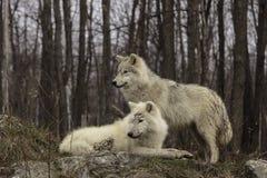 Una coppia i lupi artici Fotografia Stock