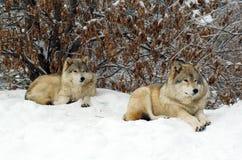 Una coppia i lupi grigi Immagine Stock