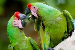Una coppia i macaws militari Fotografie Stock