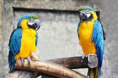Una coppia i pappagalli blu-gialli (ara, are) sedentesi su un baranch in giungla Fotografie Stock Libere da Diritti