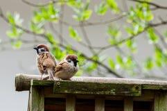 Una coppia i passeri Immagini Stock