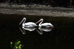Una coppia i pellicani bianchi Fotografia Stock