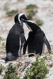 Una coppia i pinguini africani nell'amore che si occupa di a vicenda sulla spiaggia i fotografia stock