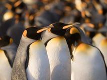 Una coppia i pinguini di re Immagini Stock