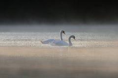 Una coppia il Cygnus Olor dei cigni muti su un lago nebbioso Fotografia Stock Libera da Diritti
