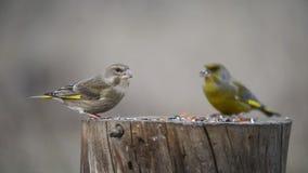 Una coppia il fringillide verde europeo che si siede sull'alimentatore dell'uccello di inverno video d archivio