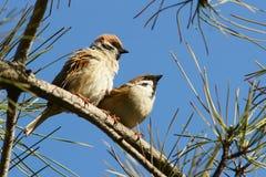 Una coppia il passero Fotografia Stock