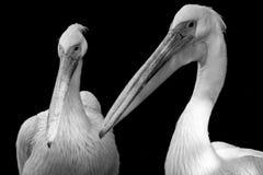 Una coppia il pellicano Immagine Stock Libera da Diritti