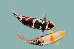Una coppia il pesce di koi Fotografie Stock