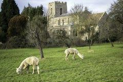 Una coppia l'alpaca che pasce sull'erba in frutteto con la chiesa nel fondo Fotografia Stock Libera da Diritti