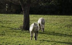 Una coppia l'alpaca che pasce sull'erba nel campo verde accanto all'albero Fotografie Stock