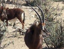 Una coppia l'antilope di nero in Bush Immagini Stock