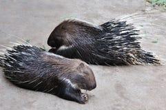 Una coppia l'istrice Fotografie Stock Libere da Diritti