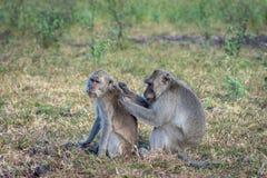 Una coppia la scimmia grigia sta aiutando sulla savanna Bekol, Baluran Il parco nazionale di Baluran è un'area di conservazione d fotografia stock libera da diritti