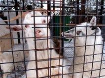 Una coppia le capre selvatiche nella gabbia dello zoo Fotografie Stock Libere da Diritti