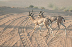 Una coppia le gazzelle arabe che attraversano una strada del deserto durante le ore di primo mattino La Doubai, UAE Immagine Stock