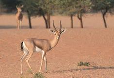 Una coppia le gazzelle arabe durante le ore di primo mattino La Doubai, UAE Fotografia Stock Libera da Diritti