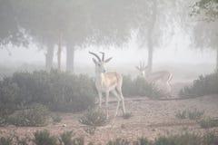 Una coppia le gazzelle della sabbia nel Dubai abbandona su una mattina nebbiosa La Doubai, UAE Immagine Stock Libera da Diritti