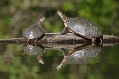 Una coppia le tartarughe dipinte parte centrale che prendono il sole su un ceppo Immagine Stock