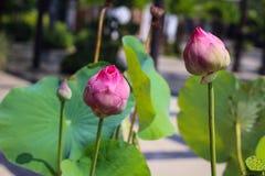 Una coppia Lotus Flower Immagini Stock