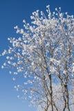 Una corona del serbal-árbol Imágenes de archivo libres de regalías