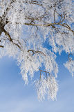 Una corona dell'albero nell'inverno Immagine Stock