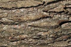 Una corteza marrón de un árbol viejo como fondo, cierre encima de 1 Foto de archivo