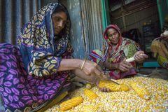Una cosecha del maíz de la extensión del trabajador para secarse Fotografía de archivo libre de regalías