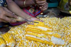 Una cosecha del maíz de la extensión del trabajador para secarse Imagen de archivo libre de regalías